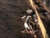كلب ميت على رصيف حديقة الطفل