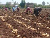 محصول البطاطس - ارشيفية