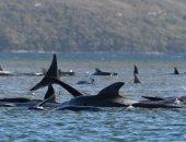 محاولة  إنقاذ الحيتان فى أستراليا