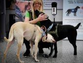 تدريب الكلاب البولبيسية على اكتشاف فيروس كورونا