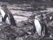 طيور البطريق تجلس على الجزيرة