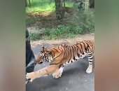 نمر بنغالى