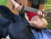 البقرة نائمة على أنغام الموسيقى