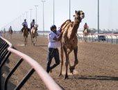فعاليات سباق الهجن الإماراتى