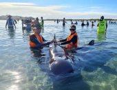 إنقاذ الحوت الطيار على شواطئ نيوزيلاندا