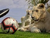 أسود تلعب كرة القدم