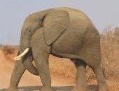 صورة طريفة لفيل بدون رقبة