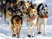 سباق تزلج الكلاب فى جبال ألاسكا