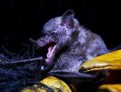الخفاش المكسيكي
