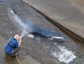 فريق الانقاذ يساعد الحوت العالق