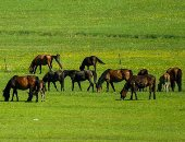 مراعى منغوليا الخضراء