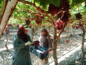 حصاد العنب