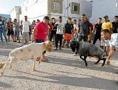 قتال الكباش في تونس