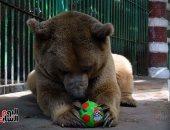 الدب حسونة