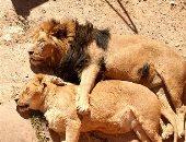 أسد يحتضن زوجته في غفوة النهار