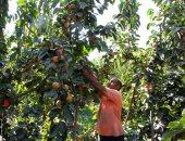 حصاد الكاكا