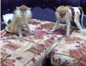 تربية القرود