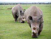اخر أنثيين من وحيد القرن بالعالم