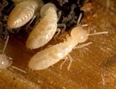 النمل الأبيض - صورة أرشيفية