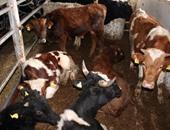 ماشية - أرشيفية