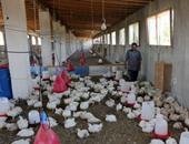 مزرعة دواجن - أرشيفية