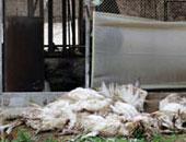 دجاج نافق - أرشيفية
