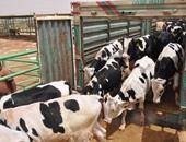 ماشية -أرشيفية