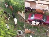 الماشية فى حدائق مصيف جمصة