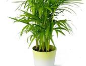 نبات الشاميدوريا ينقى الهواء ويعطى منظرا جماليا للبيت