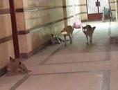 الكلاب داخل مستشفى المحمودية بالبحيرة