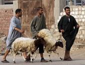 خروف العيد أرشيفية