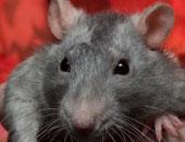 فأر - أرشيفية