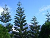 شجرة الصنوبر - أرشيفية