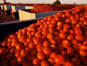 طماطم أرشيفية