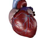 قلب - صورة أرشيفية