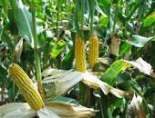 محصول الذرة - أرشيفية