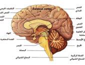 المخ - أرشيفية