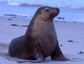 حيوان أسد البحر - أرشيفية