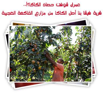 عمرك شوفت حصاد الكاكا؟!..قرية فيشا بنا أصل الكاكا من مزارع الفاكهة العجيبة