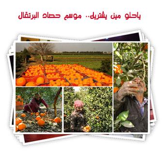 ياحلو مين يشتريك.. موسم حصاد البرتقال