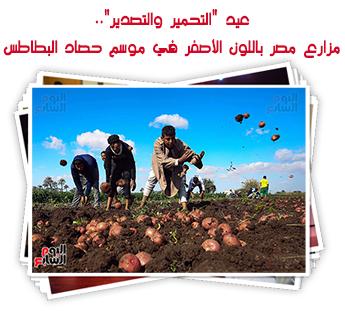 """عيد """"التحمير والتصدير"""".. مزارع مصر باللون الأصفر في موسم حصاد البطاطس"""