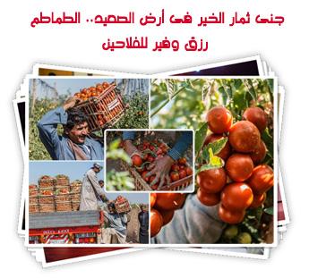 جنى ثمار الخير فى أرض الصعيد.. الطماطم رزق وفير للفلاحين
