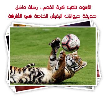 الأسود تلعب كرة القدم.. رحلة داخل حديقة حيوانات البقيش الخاصة في الشارقة