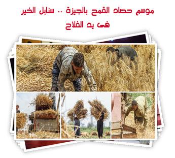موسم حصاد القمح بالجيزة .. سنابل الخير فى يد الفلاح