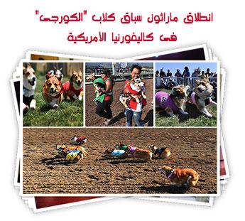 """انطلاق ماراثون سباق كلاب """"الكورجى"""" فى كاليفورنيا الأمريكية"""