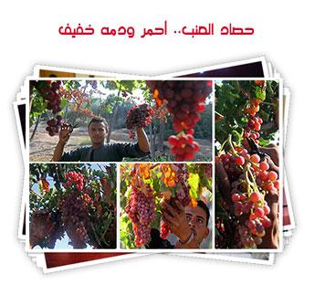حصاد العنب.. أحمر ودمه خفيف