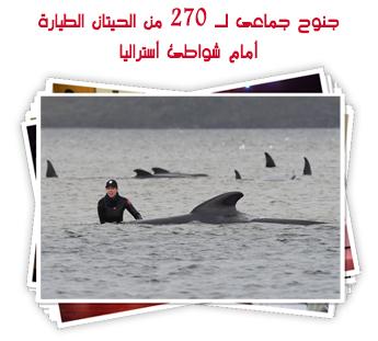 جنوح جماعى لـ 270 من الحيتان الطيارة أمام شواطئ أستراليا.. ألبوم صور