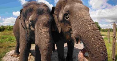 بتسوانا ترفع الحظر على صيد الأفيال