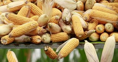 """بالصور.. المزارعون يجنون محصول """"الذرة"""" فى الصين بأيديهم خوفا من البطالة"""