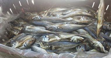 ضبط 120 كيلو أسماك البقرة السامة فى أسواق الإسكندرية
